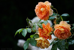 I met my love in a garden of roses (Only Snatches) Tags: blume bourgogne burgund burgundy flower france frankreich jahreszeit landschaft lebensfreude mood natur park pflanzen romantisch rose sommer friedlich landscape nature peaceful romantic season summer vitality
