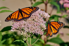 Monarchs loves milkweed. (bkkay1) Tags:
