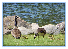 Copy Cats (bigbrowneyez) Tags: goslings family canadageese eating lunchtime sunny sweet dolce adorable summer fun andrewhaydenpark ottawa canada astate birds wings feathers protective tiny big babies newborns frame cornice nature natura belli bellissimo foto dof furry fuzzy fabulous copycats delightful precious