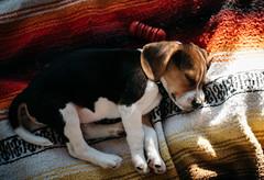 Nap time (cathy sly) Tags: beagle puppy sleepingpup atthelake