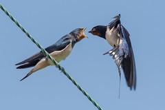 Swallow (juvenile) June 2018 (b) (jgsnow) Tags: purple bird hirundine swallow feedingjuvenile