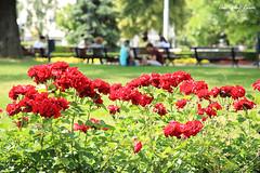 .. (alien2077) Tags: sofia bulgaria rose capital 保加利亞 玫瑰 索菲亞
