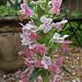 Morina longifolia re-visited