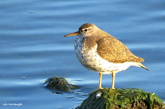 Spotted Sandpiper (Lois McNaught) Tags: spottedsandpiper bird avian waterfowl nature wildlife hamilton ontario canada