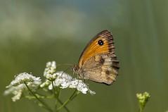 Una mari (Aristides Díaz) Tags: vidasilvestre insectos mariposa butterfly coenonymphapamphilus bokeh pdc macro sigmaexdghsm150f28macro lagunasdelpadul granada andalucía