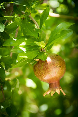 197.365.2018 Baby Pomegranate (Kris McNeil) Tags: cibolo creek resort west texas sunny summer marfa pomegranate