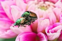 Scarab Beetles (_TAKATEN_) Tags: sony alpha a7rii a7rm2 sigma mc11 macro scarab beetle