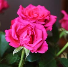 DSC_0686 (PeaTJay) Tags: nikond750 sigma reading lowerearley berkshire macro micro closeups gardens indoors nature flora fauna plants flowers rose roses rosebuds