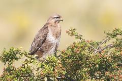 Buzzard (drbut) Tags: buzzard buteobuteo birdofprey tree bird birds animal wildlife nature canonef500f4lisusm