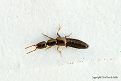 Xantholinus  ? (DirkVandeVelde back , and catching up) Tags: europa europ europe france frankrijk fauna nordpasdecalais bercksurmer côtedopale macro insekt insects insect insekten biologie outdoor coleoptera kever beetle