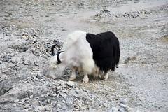 Yak, Lake Namtso, Tibet (4) (Prof. Mortel) Tags: tibet lake namtso yak