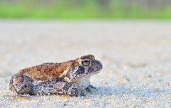 Gorgeous Southern Toad (Marsh, D.) Tags: southerntoad anaxyrusterrestris truetoad anura amphibian herp nikond5100 fieldherping marshd herping toad nature naturephotography wildlifephotography wildlife wakullacounty florida amphibians toads apalachicolanationalforest