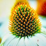 Echinacea thumbnail