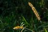Minimalist - cat's tail plant (Enio Godoy - www.picturecumlux.com.br) Tags: niksoftware piratiningasp minimalism sonyalpha sony02 flower museudocafé sony viveza2332132614451 sonyalpha6300