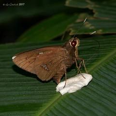 Carystoides maroma (LPJC) Tags: lakesoledad peru 2017 lpjc arcc butterfly carystoidesmaroma skipper
