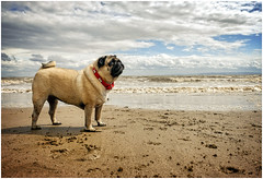 Belle on the Beach (tina777) Tags: belle dog canine pug animal pet nature beach ocean sea seaside sand sky clouds waves surf jacksons bay barry vale glamorgan wales coastal path photoshopelements ononesoftware