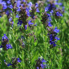 hyssop - definition and meaning