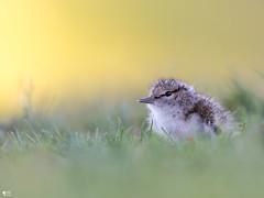 ''Cottenelle!''Chevalier grivelé-Spotted sandpiper (pascaleforest) Tags: oiseau bird animal passion nature nikon wild wildlife faune québec canada bébé baby
