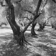 Filoli olives (Tpstearns) Tags: trees film monochrome blackandwhite bw rolleiflex 28d square 120 mediumformat fp4