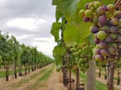 Not France, Yorkshire! (katy1279) Tags: vinesgrapeswineyorkshire
