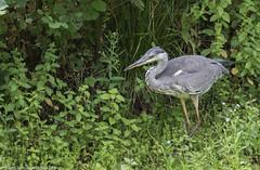 9Q6A1640 (2) (Alinbidford) Tags: alancurtis alinbidford brandonmarsh greyheron nature wildbirds