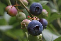 Ripe Blueberries (brucetopher) Tags: blueberry blueberries fresh fruit blue blues berries berry pick picking blueberrypicking ripe prime season summer tasty food delicious goodforyou organic bush bushes stem plant fauna