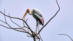 Painted stork (Birdwatcher18) Tags: paintedstork wader waterbird birds birding birder tree birdwatching nature bird sky branch birdwatcher
