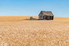 Wheat fields in Lincoln County (Washington State Department of Agriculture) Tags: scenic summer washingtonstatedepartmentofagriculture farmstead historic july lincolncounty washington wheat
