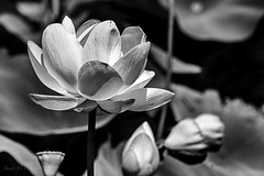 Green Bottom Lotus (jmhutnik) Tags: lotus monochrome summer flower petals greenbottom westvirginia hdr july