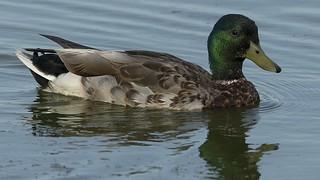 Canard colvert mâle 17T0481