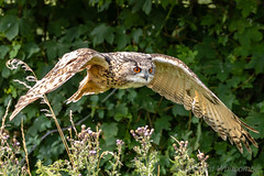 European Eagle Owl (WhitcombeRD) Tags: gloucester prey barn owl flying flight birdsofprey birds barnowlcentre