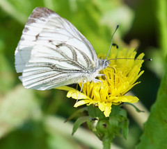Green Veined White - Taken at Sywell Country Park, Sywell, Northants. UK. (Ian J Hicks) Tags: