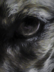 Seeing through a dog's eyes (Steve Taylor (Photography)) Tags: dog eye fur hair animal digitalart muted closeup newzealand nz southisland canterbury christchurch northnewbrighton