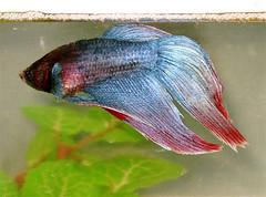 MacFin (M.P.N.texan) Tags: fish tropical pet betta siamesefightingfish glitter shiny iridescent aquarium