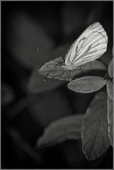 _DSC3553 (Des.Nam) Tags: noiretblanc nordpasdecalais nord noirblanc noir bw blackwhite papillon butterfly macro desnam d800 nikon nikond800 105mmf28 flash torchemetz