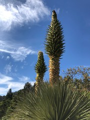 Queen of the Andes (Melinda Stuart) Tags: collected rare years century special uc university berkeley garden botanical ucbg two large tall bromeliad spike andes puya