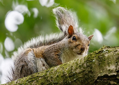 Grey Squirrel (andynayler) Tags: leightonmoss rspb