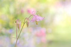 Sweet Columbine (paulapics2) Tags: columbine aquilegia flower nature garden flora pastel soft bokeh canoneos5dmarkiii sigma105mmf28exdgoshsmmacro 7dwf