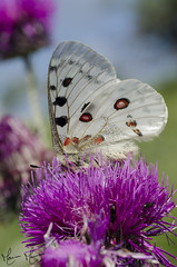 L'Apollon (marinaturaliste) Tags: papillon rhopalocere apollon parnassius