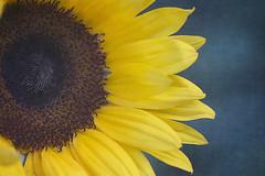 Week 25/52 (Tres Seis Cinco) Tags: 52weekphotoproject 52week week25 botanical closeup fineart flower yellow blue sunflower texture textured macro petals