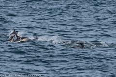 AHK_6091 (ah_kopelman) Tags: 2018 cresli creslivikingfleetwhalewatch delphinusdelphis montaukny shortbeakedcommondolphins vikingfleet vikingstarship whalewatch