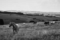 possible homes (3) (stephubik) Tags: blackandwhite eifel foveon horses x3f loh