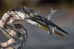 The last wiggle (bodro) Tags: bolsachica gbh bird birdfeeding birdfishing birdwithfish birdphotography ecologicalreserve greatblue heron lateafternoonlight shallows smelt tiny wetlands