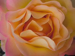 Paint Me in Pastels (Steve Taylor (Photography)) Tags: pastel rose yellow pink orange newzealand nz southisland canterbury christchurch northnewbrighton flower closeup macro