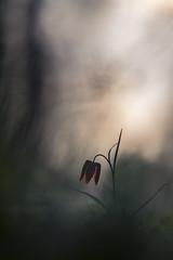 Délice végétal (Thomas Vanderheyden) Tags: fritillaria meleagris flore flora fleur flower nature bokeh fujifilm macro proxi vegetal colors couleur thomas vanderheyden