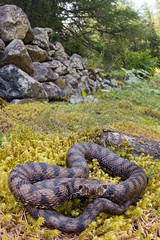 Vipera aspis aspis (Gabriele Carabus Motta) Tags: aspide vipera common viper alps mountain gran paradiso summer nature snake wide angle macro