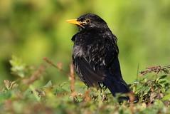 Blackbird-7D2_7132-001 (cherrytree54) Tags: blackbird sigma canon 7d 150600 7dmkii