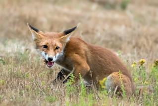 Red Fox ( Vulpes vulpes ).