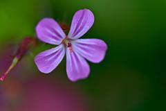 Geranium Robertianum (pstenzel71) Tags: blumen natur pflanzen redrobin stinkenderstorchschnabel geraniumrobertianum darktable flower bokeh