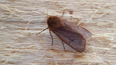 20180804_101816 (Paul Young1) Tags: rubytiger phragmatobiafuliginosa erebidae noctuoidea 1 one single moth moths animal animals insect insects insecta arthropod arthropods arthropoda lepidoptera nature wild wildlife uk british britain perched perching close study imago unitedkingdom closeup top topview closedwings head